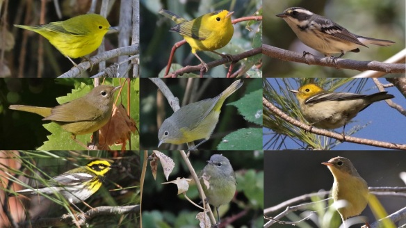 warblers fall 2018